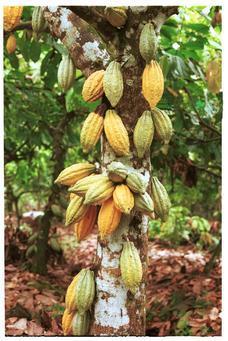 Buy Cocoa Tree Online