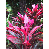 Cordyline fruticosa red sister (Red Sister)