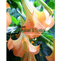 Brugmansia sp. Buck's Fizz (Buck's Fizz/Brilliant Orange)