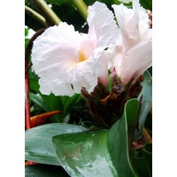 Costus sp. Pink Shadow (Pinkshadow/Javapink)