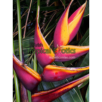 Heliconia bihai cv Chocolate Dancer