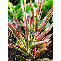 Cordyline New Guinea