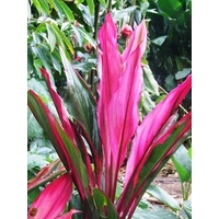 Cordyline fruticosa Rose Apple (Rose Apple)