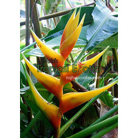 Heliconia bihai cv Mt. Hope Yellow
