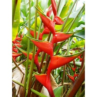 Heliconia bihai cv Cinnamon Orange