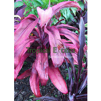 Cordyline fruticosa cv Johny Noble