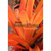 "Aechmea blanchetiana  ""red form"""