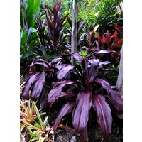 Cordyline fruticosa Black Knight