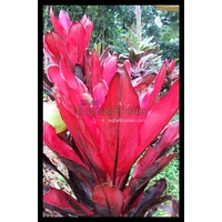 CordylinePack for Sunny Conditions