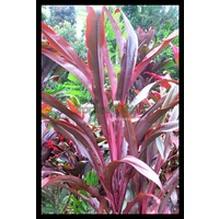 Cordyline fruticosa Dragon's Breath (Dragon's Breath)