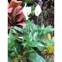 Spathiphyllum clevelandii (Variegated Peace Lily)