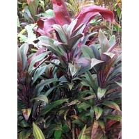 Cordyline fruticosa Green Jade