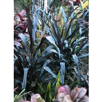 Cordyline Black Spear (Black Spear)
