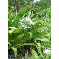 Native Crinum Lily Swamp Lily