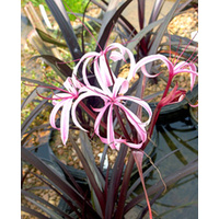 Purple Crinum Lily