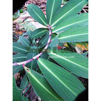 Costus vargassi 5 plants