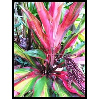Cordyline fruticosa Waihee Rainbow 5 plants