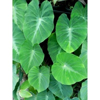 Colocasia fallax 5 suckers