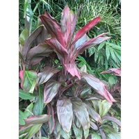 Cordyline BBQ Red 5 plants