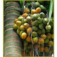 Betel Nut Palm 5 barerooted palms