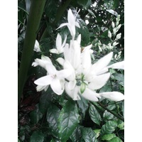 White Candles (Whitfieldia elongata)