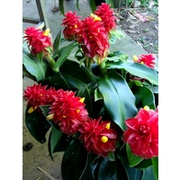 Costus comosus 5 plants
