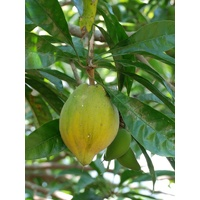 Yellow Sapote Canistel