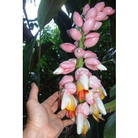 """Giant Pink Shell"" Alpinia"