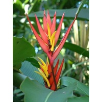 Heliconia mathiasiae 'Mildred'