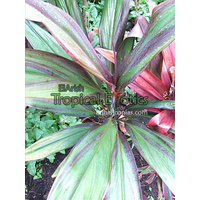 Cordyline Pele's Smoke 5 plant bulk buy