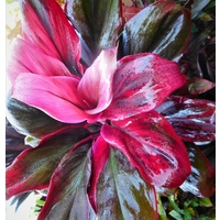 Cordyline Red Robin