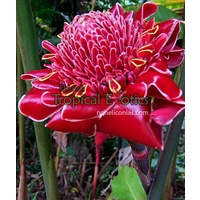 Bloody Mary Torch Ginger