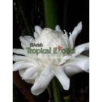 White Torch Ginger