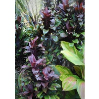 Cordyline Mini Compacta Bulk Buy