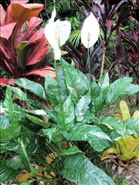 Other Tropical Plants
