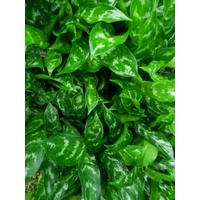 Understory plants- Indoor plants