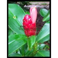 Strawberry Bud Costus