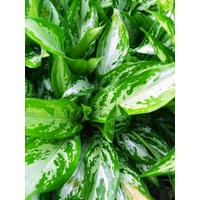 Silver Queen (Aglaonema Silver Queen)