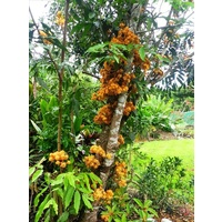 Orange Saraca Tree (100 mil pot)