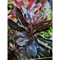 Darkest Hour Cordyline
