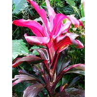 Cordyline Janine Bulk Buy