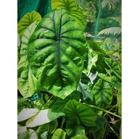 Alocasia clypeolata- Green Shield