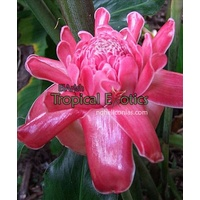 Darwin Pink Torch Ginger
