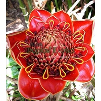 Helani Tulip Torch Ginger