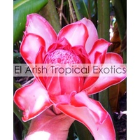 Evita's Rose Torch Ginger