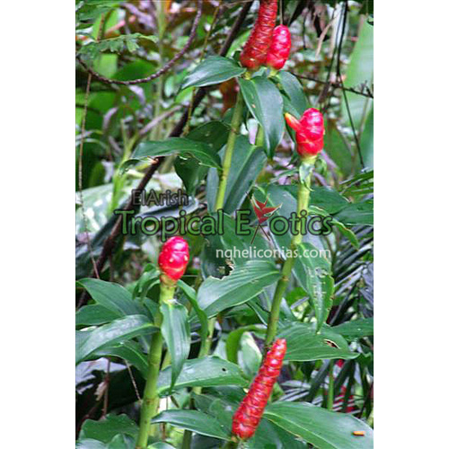 Costus woodsonii cv French Kiss (French Kiss)