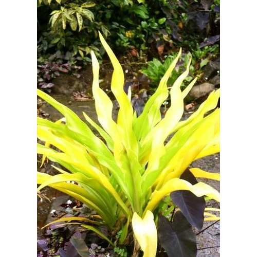 Golden Crinum/Thai Yellow Crinum