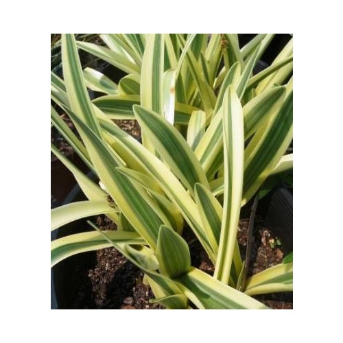 Variegated Spider Lily 5 bulbs
