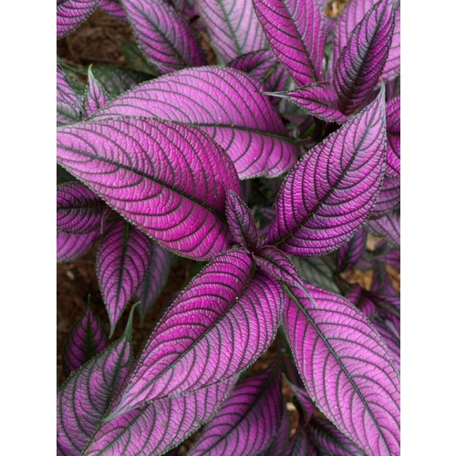 Persian Shield bulk buy
